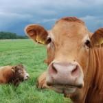 Binnenkort subsidie mogelijk op investeringen voor innovatie en verduurzaming van veehouderijbedrijven